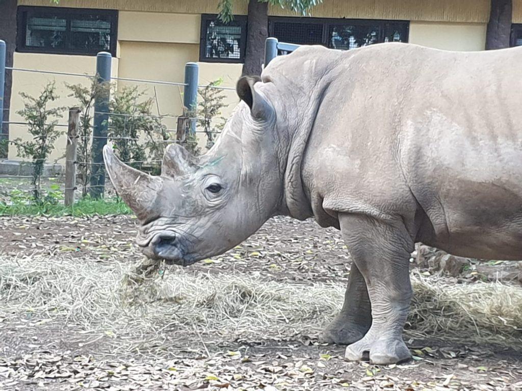 Thomas e Kibo sono i due nuovi rinoceronti bianchi del Bioparco