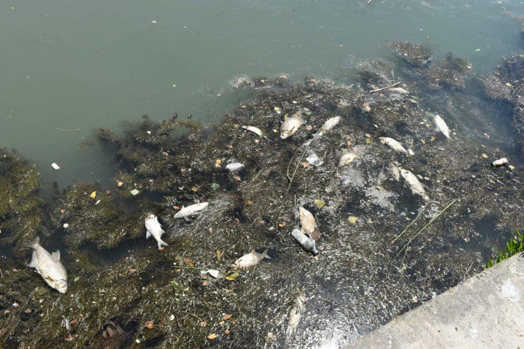 Pesci morti nel Tevere