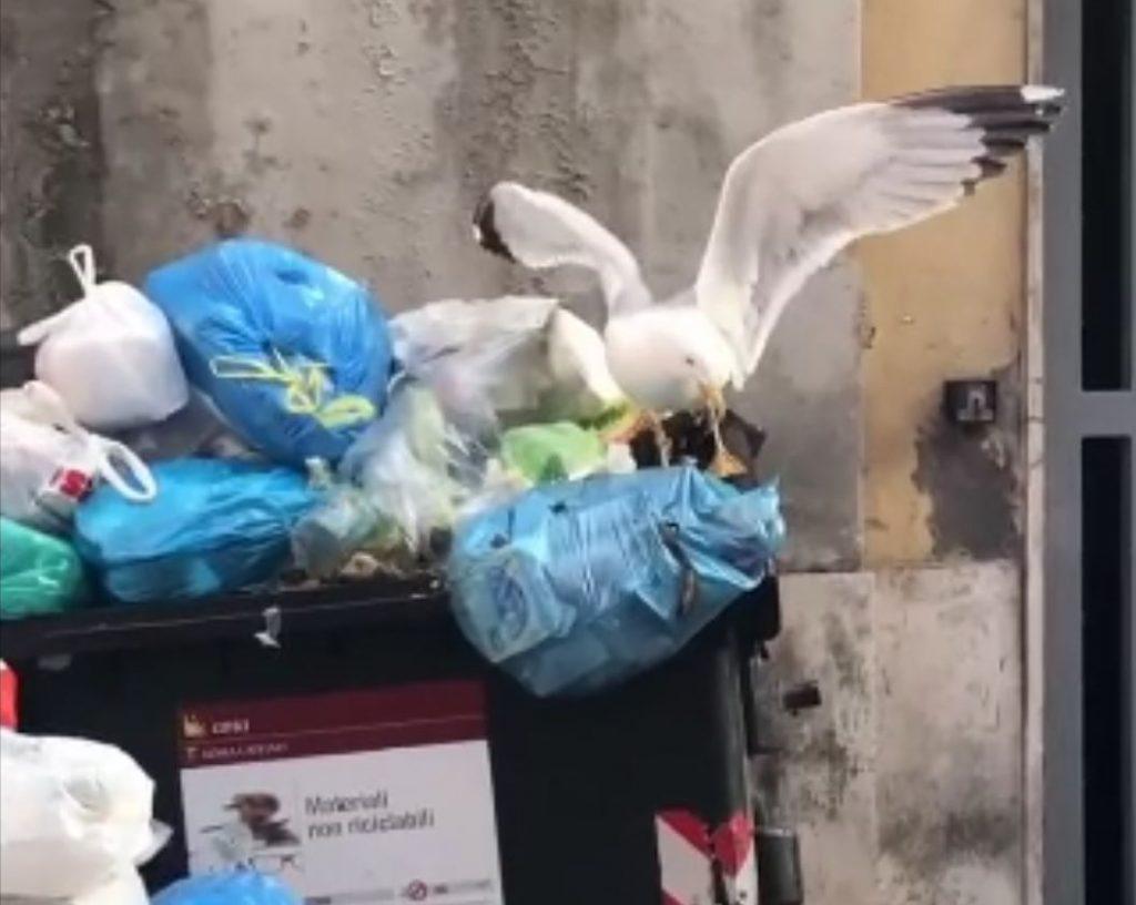 Un gabbiano si ciba di rifiuti ai Parioli
