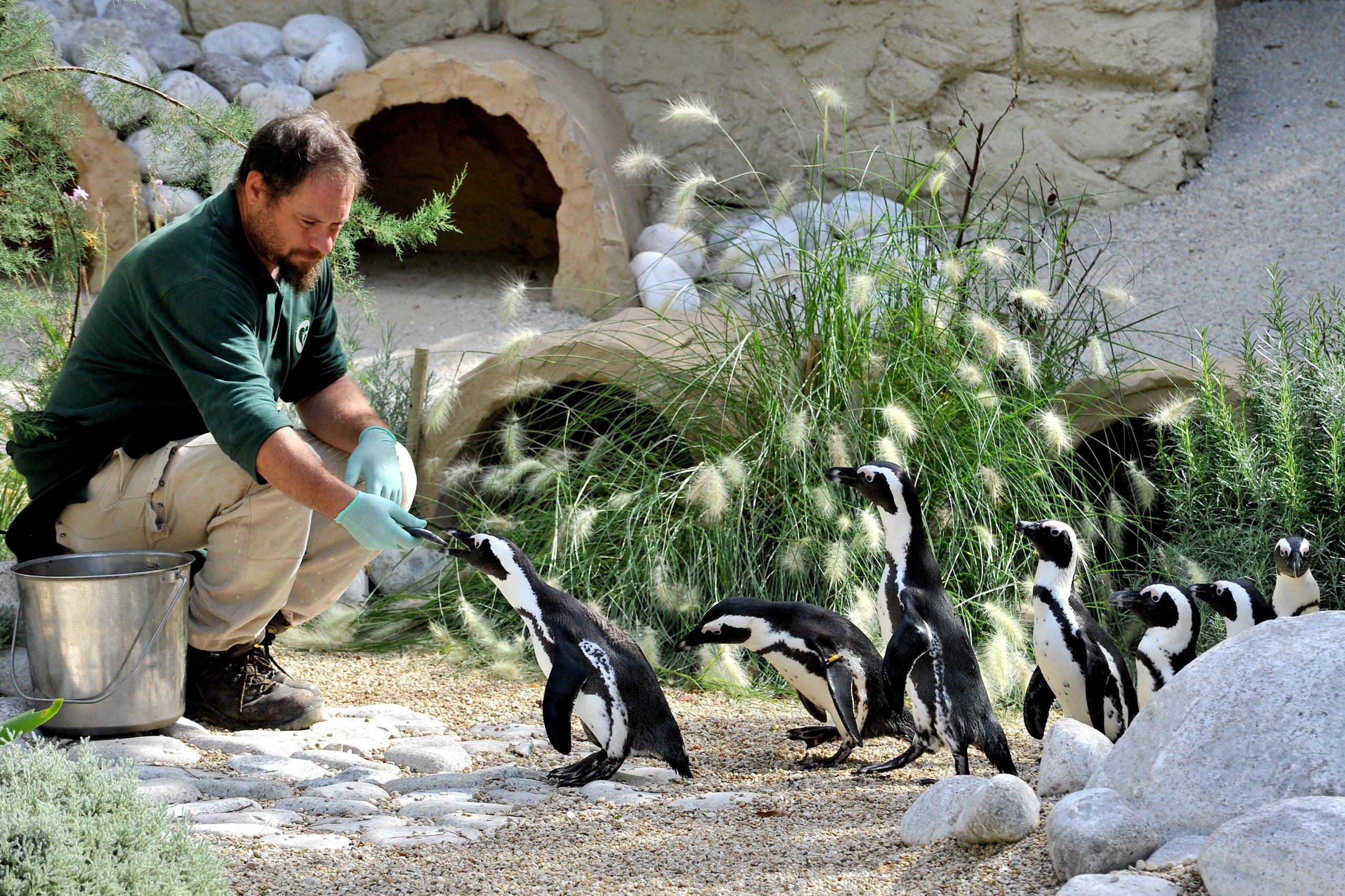 Il pasto dei pinguini (foto dal sito del Bioparco di Roma)