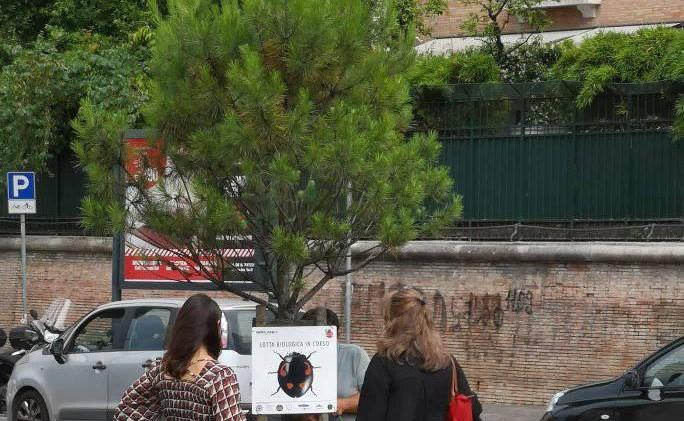 Un giovane pino sul quale sono state liberate le coccinelle in piazza Don Minzoni. Foto dalla pagina Facebook Giardino delle Belle Arti