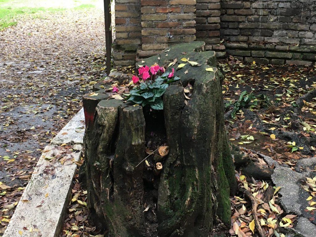 La piantina sul tronco d'albero a ponte Nomentano