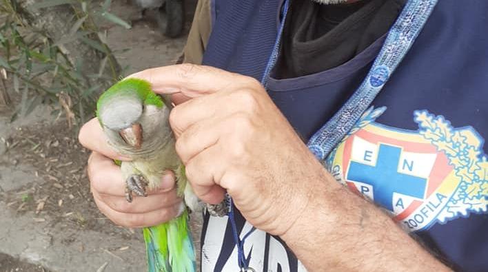 Il parrocchetto salvato dai volontari di Enpa (foto Enpa Roma)
