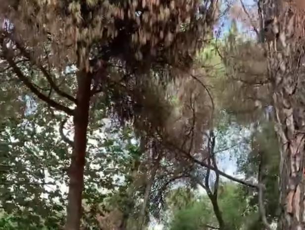 I pini del boschetto vicino alla stazione Tiburtina
