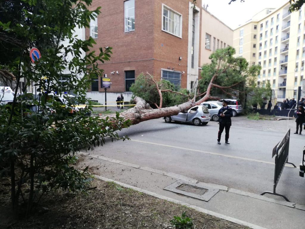 Pino crollato in viale Mazzini