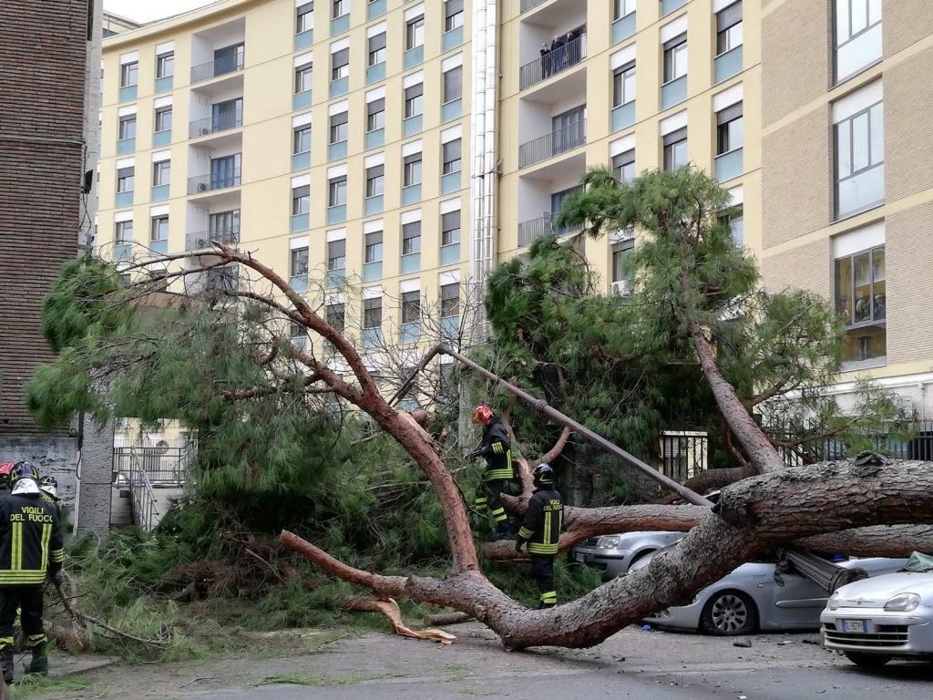 Il pino crollato su viale Mazzini