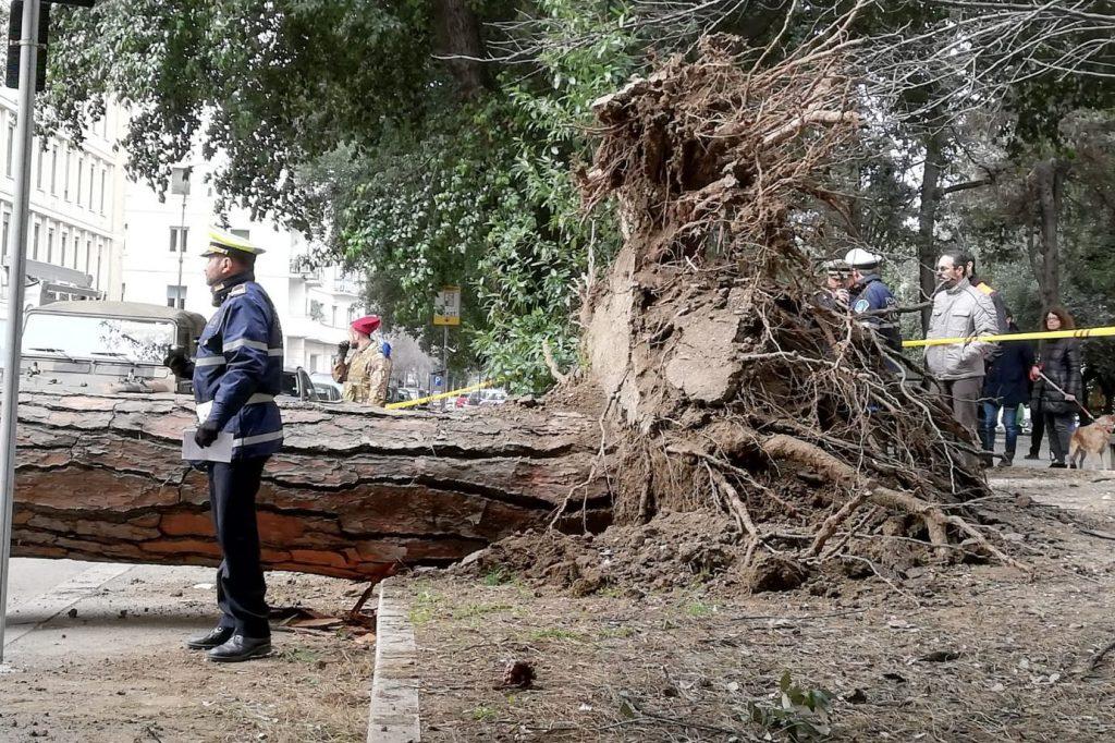 Con il crollo del pino sono uscite dall'asfalto anche le radici