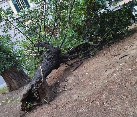 Un albero crollato in viale Mazzini
