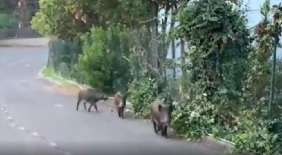 Cinghiali escono da un seggio elettorale di Monte Mario