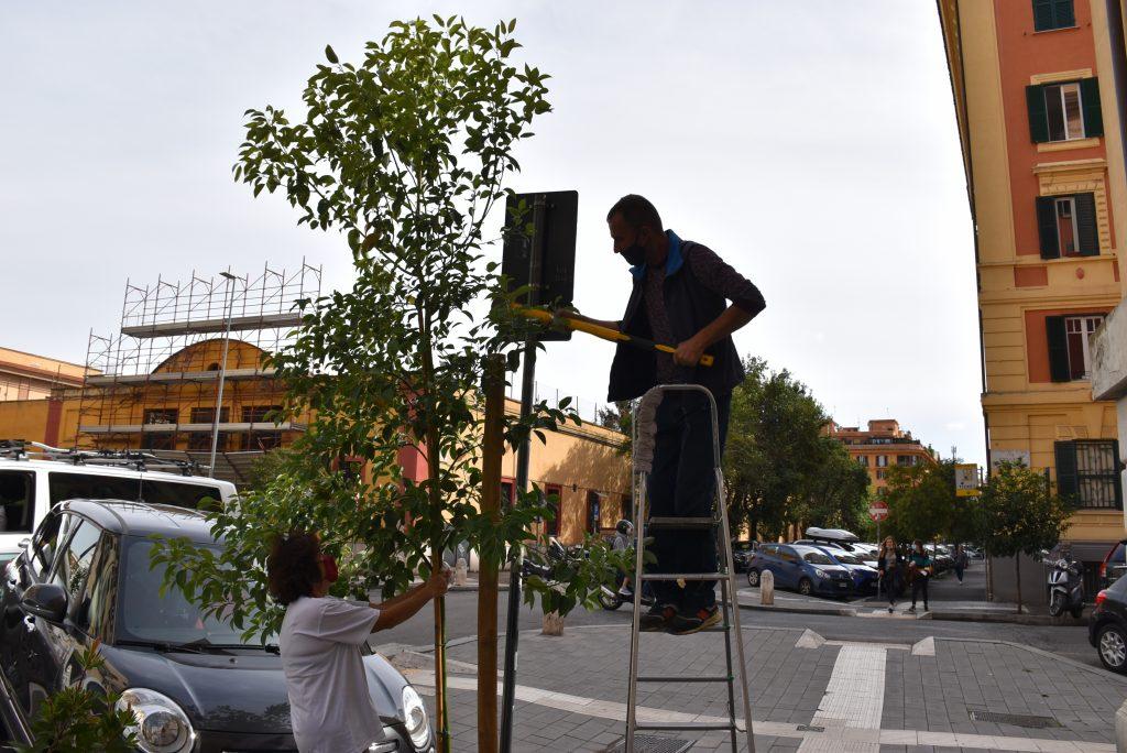 Il nuovo albero di canfora piantato in via Simone de Saint Bon