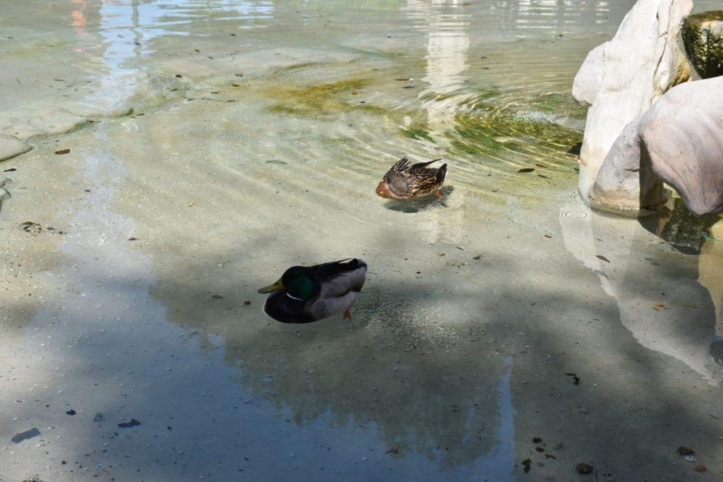 Una coppia di germani nuota nella fontana di piazza Mazzini