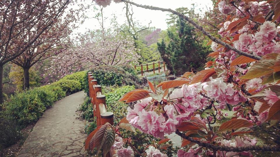 Ciliegi in fiore (foto dalla pagina Facebook dell'Orto botanico)
