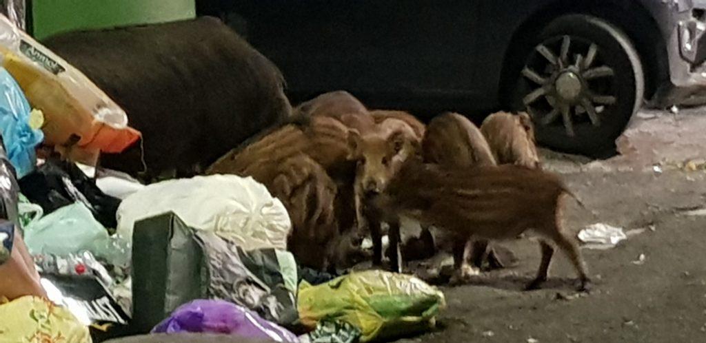 La famiglia di cinghiali mentre pasteggia ai piedi di un cassonetto