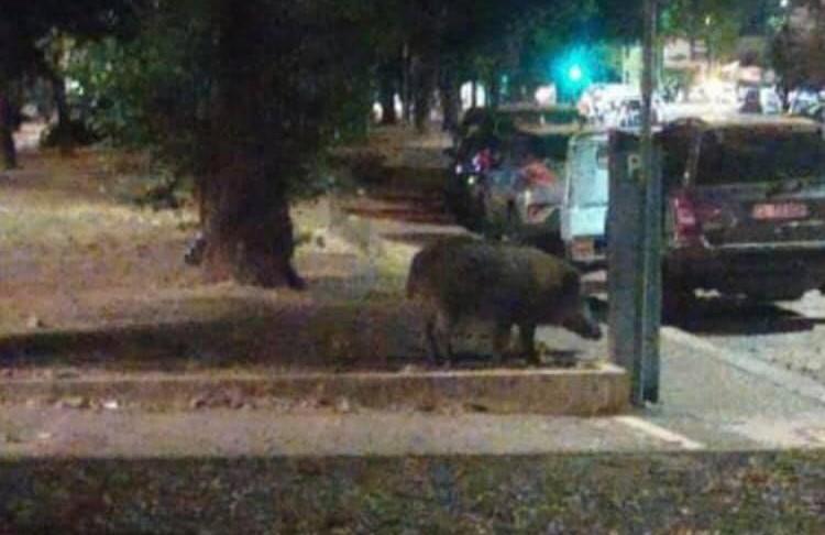 Cinghiale in viale Mazzini. Foto dalla pagina Facebook Comitato Cittadini Municipio I