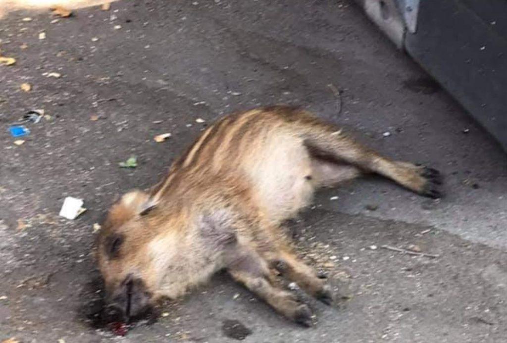 Il cinghiale morto. Foto dalla pagina Facebook di Daniele Diaco