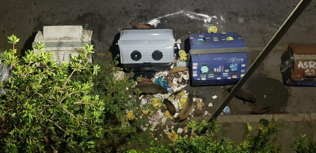 Cinghiali mangiano i rifiuti tra i cassonetti