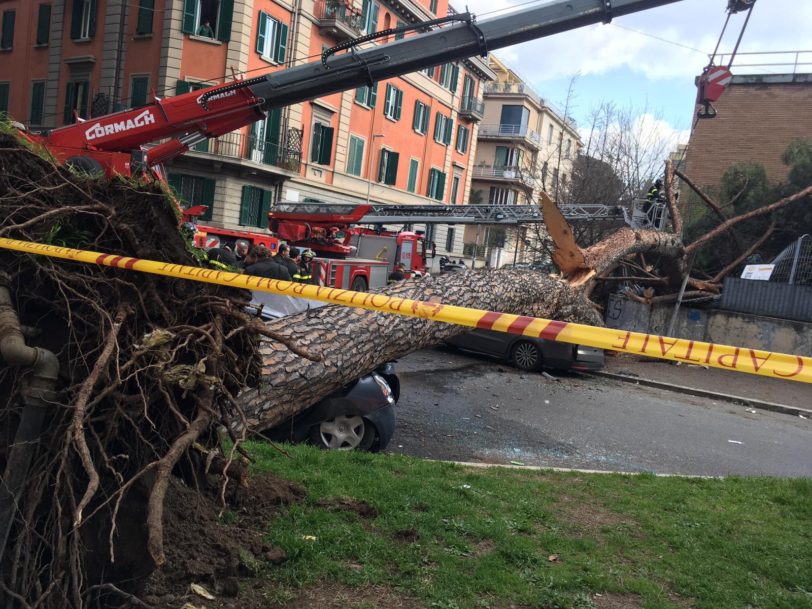 Il tronco del pino invade corso Trieste