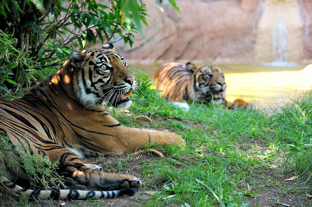 Le tigri del Bioparco