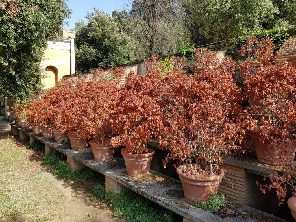 Le azalee dentro Villa Torlonia completamente secche