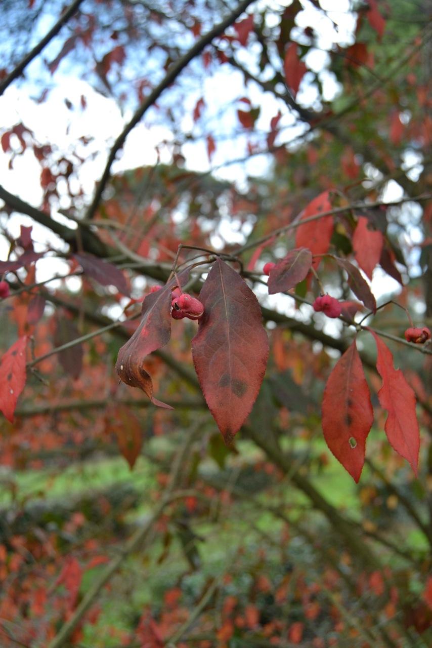 euonimo foglie