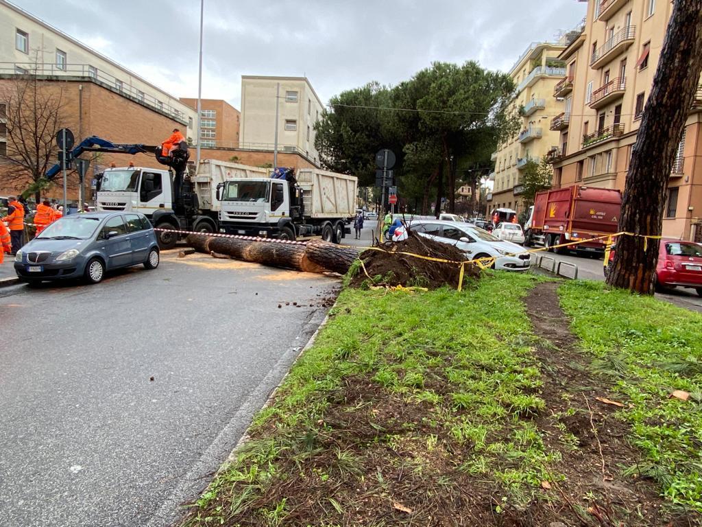 Il pino crollato a corso Trieste