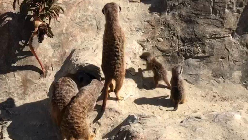 Sulla destra, i due cuccioli di suricati appena nati